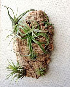 Vertical Garden: Air Plants on Sustainable Virgin Cork Bark Large Piece