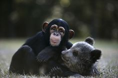 Vali the chimp and Bam Bam the bear are BFFs