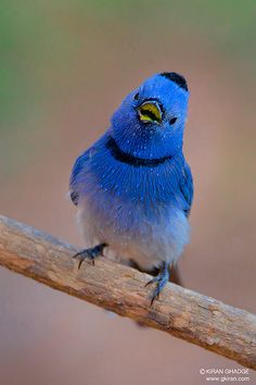 Black-naped Monarch (photo by gkiran)  So cute!