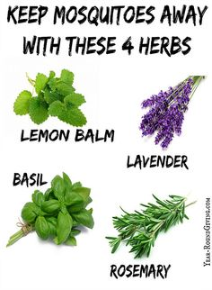 "Herbs that keep Mosquitoes Away: ""One way is having my herb garden pull double duty. The scent from the herbs: Rosemary, Basil, Lemon Balm and Lavender repel mosquitoes."" Article has more suggestions."
