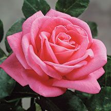 New! Peter Mayle Hybrid Tea Rose  with enormous flowers as large as grapefruits - at edmundsroses.com