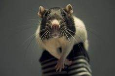 Bug the rat, look it up, so cute!