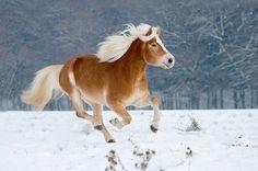 Haflinger horse by Stefanie Lategahn, via 500px