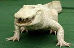 Albino Alligators From over 2 million alligators in the United States, only about 40 are albino. This 14 year-old albino alligator (Allig...