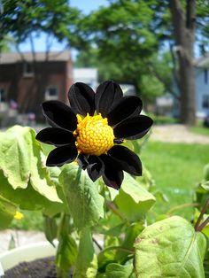 Dahlia Black Beauty