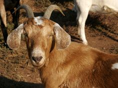 PICTURES OF GOATS - Yahoo Image Search Results