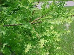 Taxodium distichum var. distichum - Bald Cypress,  A large and beautiful tree.