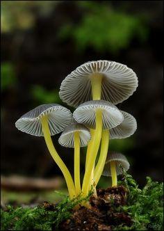 Mycena epipterygia var. viscosa. photo by Oldrich Roucka