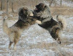 Caucasian Shepherd Dog or Sheepdog / Caucasian Ovcharka / Caucasian Mountain Dog / Kavkazskaïa Nagazi Ovtcharka