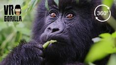 Wait for it!! 🙂 A VERY close up encounter with a wild mountain gorilla.. Find us on Facebook: https://www.facebook.com/vrgorilla May 2015 VR Gorilla (http://www.vr-gorilla.com) traveled to Uganda to create the first virtual reality safari experience in collaboration with a Dutch/Ugandan...