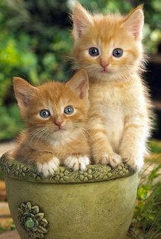 Beautiful Orange Cats That Look Like A Fox On Facebook