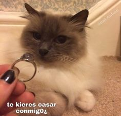 Read 🐾cuarenta y ocho from the story ♡̷̷ꦿmemes soft by caramelcrime ( ⠀) with reads. Cute Cat Memes, Cute Love Memes, Funny Animal Memes, Funny Memes, Meme Pictures, Reaction Pictures, Cole Preston, Memes Lindos, Gatos Cool