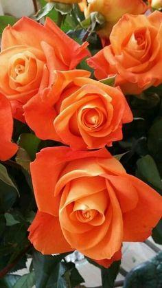 ~ ღ Skuwandi Orange Flowers, Pretty Flowers, Pink Roses, Wild Flowers, Coral Orange, Coming Up Roses, Love Rose, Beautiful Roses, Trees To Plant