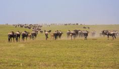 #Serengeti is the mother of all parks, home to perhaps the most impressive mammal #migration in the world.