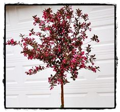 Wine & Rose Weigela Tree