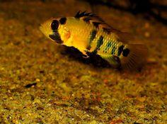 Saltwater Aquarium Fish, Planted Aquarium, South American Cichlids, Cool Fish Tanks, Home Aquarium, All Fish, Beautiful Fish, Freshwater Fish, Aquariums
