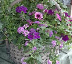 """Pink petunias, pink and purple verbena and lantana, along with some ivy, and two colors of calibrachoas give this container a great """"country"""" look."""