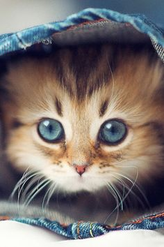 7 Fun Facts About Maine Coon Cats - Kittens - Ideas of Kittens - Cutest cats Tap the link for an awesome selection cat and kitten products for your feline companion!mainecoonguid The post 7 Fun Facts About Maine Coon Cats appeared first on Cat Gig. Pretty Cats, Beautiful Cats, Animals Beautiful, Gorgeous Eyes, Beautiful Images, Kittens Cutest, Cats And Kittens, Cute Cats, Kittens Meowing