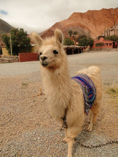 Llama being adorable