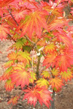 Aconitifolium (japanese maple catalog) Acer Trees, Deciduous Trees, Garden Compost, Gardening, Japenese Maple, Linden Gardens, Dwarf Japanese Maple, Deer Resistant Garden, Leaves Changing Color