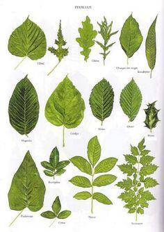 Planche 2 - Feuillus Plus Illustration Botanique, Plant Illustration, Tree Leaves, Plant Leaves, Tree Leaf Identification, Impressions Botaniques, Nature Journal, Leaf Art, Botanical Prints