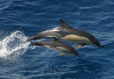common-dolphin-mother