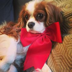 Jax the kingcharles - Hamming it up in my Christmas bow
