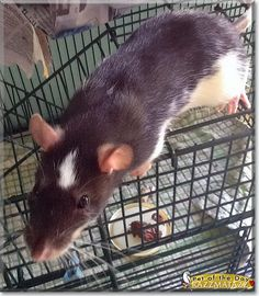 RazzMaTazz the Fancy Rat, the Pet of the Day