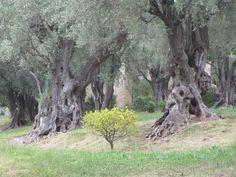 Kotimuseossa on ikivanhoja oliivipuita.