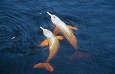 Pink Amazon river dolphins caught on camera in Brazil