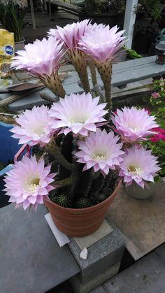 Big Garden, Nature Animals, Cacti And Succulents, Planting Flowers, Pots, Decor, Cactus Plants, Big Flowers, Cactus Flower