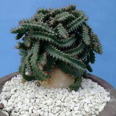 Euphorbia stellata Grand