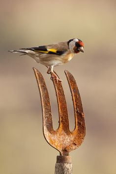 European Goldfinch. Photo by carl jones