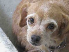 URGENT!* #A4765814 I'm an approximately 5 year old female terrier. I am not yet spayed. I have been at the Carson Animal Care Center since October 12, 2014. I am available on October 12, 2014. You can visit me at my temporary home at C118.  http://www.petharbor.com/pet.asp?uaid=LACO1.A4765814  Carson Shelter, Gardena, California