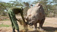 """Sudán, en el parque de conservación de Ol Pejeta. Un grupo de investigadores está desarrollando técnicas de fecundación """"in vitro"""" para salvarlo de la extinción. (EFE)"""
