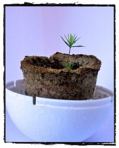 White Spruce Tree growing kit ForestNation You plant one We plant one #imagineforestnation