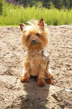 The Popular Pet and Lap Dog: Yorkshire Terrier - Champion Dogs Yorky Terrier, Yorshire Terrier, Lap Dogs, Dogs And Puppies, Dogs 101, Yorkies, Shih Tzu, I Love Dogs, Cute Dogs