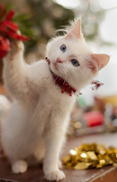 Kitty& Christmas For more Christmas cats visit - Pretty Cats, Beautiful Cats, Animals Beautiful, Cute Animals, Pretty Kitty, Cute Kittens, Cats And Kittens, Ragdoll Kittens, Tabby Cats