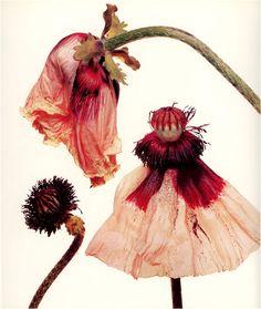 Irving Penn Still Life Photography Floral Photography, Still Life Photography, Photography Magazine, Editorial Photography, Irving Penn Flowers, Billy Kidd, Fashion Fotografie, Sibylla Merian, Book Flowers