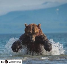 with ・・ Photo by Charge! Brown Bear fishing for Salmon. Black Bear, Brown Bear, Grizzly Bear Hunting, Bear Fishing, Golden Hour Photos, Alaska Fishing, Work Images, Love Your Pet, Wildlife Conservation