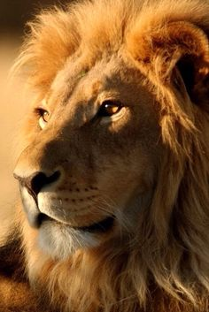 The lion is most handsome when looking for food. Lion Images, Lion Pictures, Lion And Lioness, Lion Of Judah, Beautiful Lion, Animals Beautiful, Animals And Pets, Cute Animals, Lion Photography