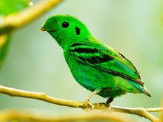 Green Broadbill Love this little guy :)