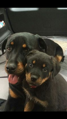 These are NOT Rotties. They are two GORGEOUS BEAUCERONS! Check it out on GOOGLE. Once you read about them, there will be NO DOUBT that you are now a PROUD parent of a BEAUCERON