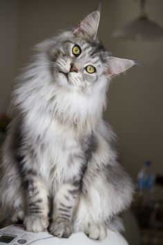 Maine Coon Cat | Beautiful Maine Coon cat looking so cutely