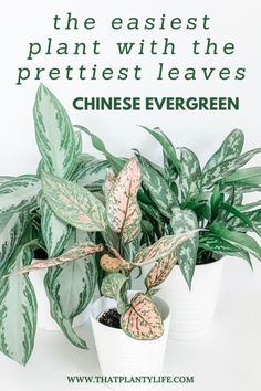The Easiest Houseplant with the Prettiest Leaves | Chinese Evergreen | www.thatplantylife.com #houseplants #houseplantcare #easyhouseplants #prettyplants #homedecor