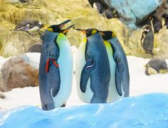 Big King Penguins In Loro Parque, Tenerife, Canary Islands Stock Image - Image of aquatic, group: 131806181 King Penguin, Penguin S, Canary Islands, Tenerife, Big, Card Ideas, Animals, Group, Image