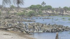 Groups of Burchell's zebra come and go drinking by turns at the Boteti river during the zebra migration in Mkgadigadi pans in BotswanFred von Winckelmann Wildlife Photography