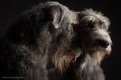 Irish Wolfhound - Tommy & Scarlet by Paul Croes & Inge Nelis #animals #dogs #irishwolfhound #paulcroes