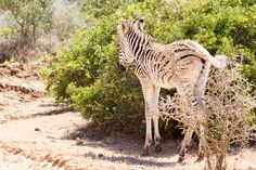 Baby Zebra standing next to the bushes Baby Burchell's Zebra standing next to the bushes.