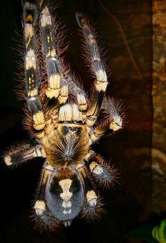 Poecilotheria sp. Lowland